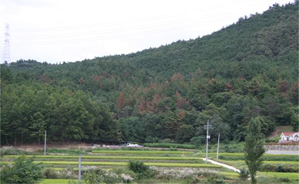 소나무재선충병 사진